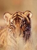 Bengal Tiger Cub  Panthera Tigris
