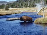 Bison Crossing the Firehole River  WY