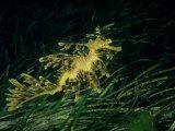 Leafy Seadragon  Edithburgh  South Australia