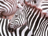 Zebra  Tanzania (Ngorongaro)