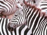 Zebra  Tanzania (Ngorongaro)
