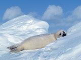 Harp Seal Pup  Pagophilus Groenlandicus  Canada