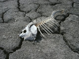 Dead Carp from Pollution on Dry Mud