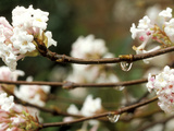 Viburnum Bodnantense