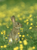 Rabbit  Adult Amongst Buttercups  UK