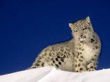 Snow Leopard 5-Month-Old Cub