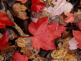 Close-up of Fallen Bright Red Dark Brown and Light Brown Leaves in November