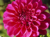 Dahlia Grace Nash  Close-up of Pink Flower