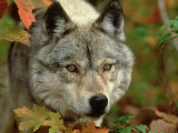 Timber Wolf  Close-up Portrait in Autumn Foliage  USA