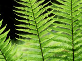 Ferns  Male  Scotland