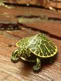 Peninsula Cooter Turtle  Chrysemys Floridana Peninsularis  Florida