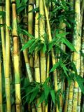 Bamboo  Sumatra