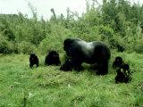 Mountain Gorilla  Berengei  Rwanda