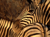 Zebra  Namibia