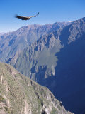 Andean Condor  Juvenile Male in Flight on Morning Thermals  Colca Canyon  Southern Peru