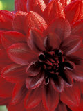 Dahlia  Arabian Night (Deep Red  Close-up)  September