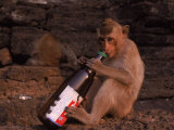 Monkey with Beer Bottle  Lopburi  Thailand