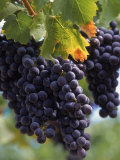 Close-up of Grapes on Vine