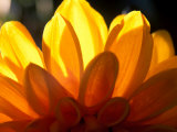 Graphic  Flower  Dahlia (David Howard) Yellow (Backlit)  October