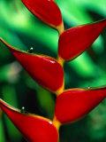 Rainbow Heliconia