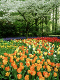 Tulipa (Tulips) Planted En Masse Below Prunus (Cherry) Tree in Blossom  Holland