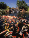 Koi Pond at Hyatt Regency  Kauai  HI