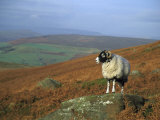 Sheep on Rock  Derbyshire  UK