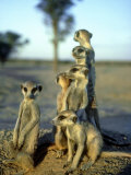 Meerkats  Emerging from Den  Kalahari