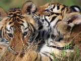 Two Bengal Tiger Cubs Bonding