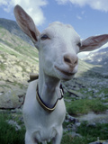 Goat  Inquisitive  Switzerland