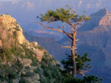 Pine Tree  Grand Canyon National Park  Arizona  USA