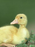Duckling  Indian Runner Close-up Portrait UK