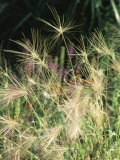 Hordeum Jubatum (Grass Seed Head) September
