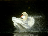 Mute Swan  Cygnus Olor Bathing Showing Water Spray Notts