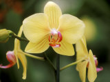 Phalaenopsis (Golden Horizon Sunrise)  September