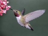 Male Broad Tail Hummingbird