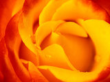 Rosa &quot;Dicobey&quot; (Rosa &quot;Tequila Sunrise&quot;)