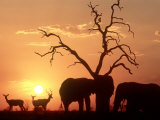 African Elephant  with Impala at Waterhole at Sunset  Botswana