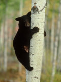 Black Bearursus Americanuscub Sat up Tree  Autumn Foliage