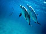 Atlantic Spotted Dolphins  Bimini  Bahamas