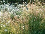 Leucanthemum Vulgare (Ox-Eye Daisies) & Wild Grasses  Wild Prairie Style Planting