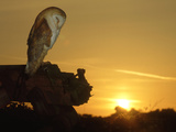 Barn Owl  Tyto Alba Asleep at Sunset
