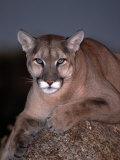 Mountain Lion on Rock  Felis Concolor