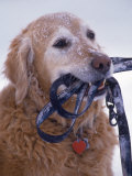 Golden Retriever with Leash in Mouth