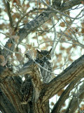 Great Horned Owl in Tree  NM