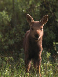Baby Moose  Grand Teton National Park  WY