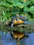 Florida Redbelly Turtle  Sunning  USA