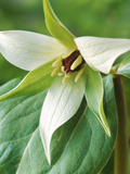 Trillium Erectum Close-up of Flower