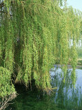 Weeping Willow  Cambridgeshire  UK