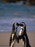 African Penguins Showing Affection